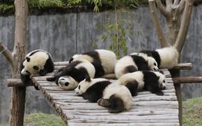 baby animals, panda, animals