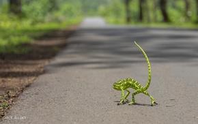 chameleons, road