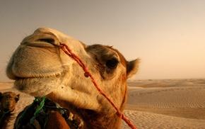 camels, animals, desert