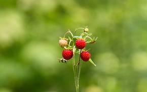 nature, bokeh, strawberries, depth of field