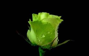 rose, water drops