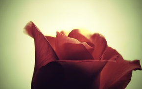 photography, rose, macro
