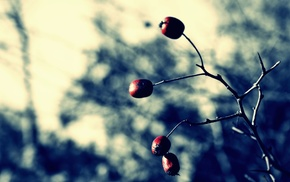 plants, fruit, depth of field, branch, photography