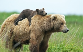 baby animals, animals, cubs, bears