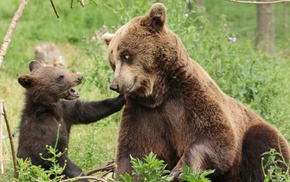 bears, baby animals, cubs, animals