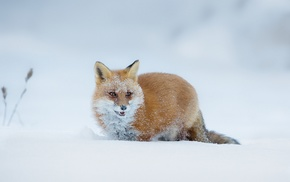 animals, snow, fox