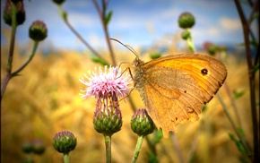 thistles, butterfly, macro, flowers, nature