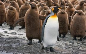baby animals, birds, penguins