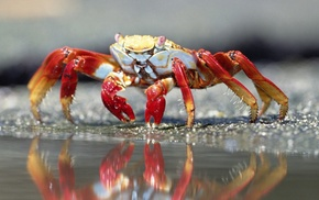 depth of field, sand, crabs, reflection, sea, nature