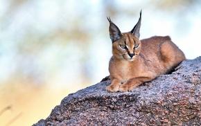 animals, lynx, cat