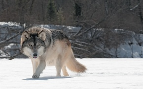 wolf, animals, snow