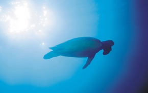 animals, sea, water, photography, underwater, turtle