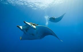 underwater, animals, water, nature, manta rays, photography