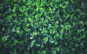 nature, spring, Shamrock, clovers, plants, green