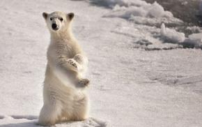 animals, polar bears, nature