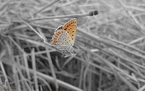 wheat, selective coloring, butterfly, black