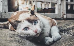 blue eyes, pet, cat, animals