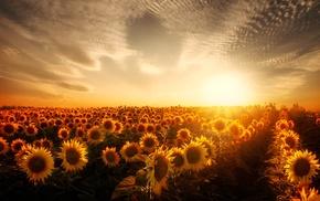garden, sunflowers, sunset