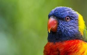 parrot, lorikeet, macro, animals, birds