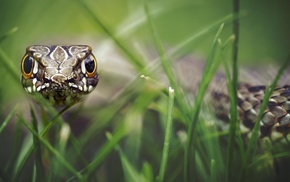 reptiles, macro, grass, depth of field, snake, animals