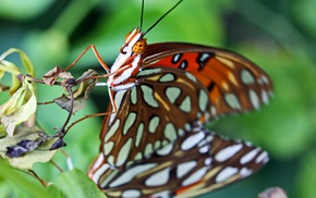 lepidoptera, butterfly, macro