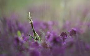 Praying Mantis, insect, macro