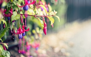 flowers, depth of field, plants, fuschia, macro