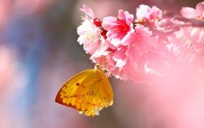flowers, lepidoptera, pink, macro