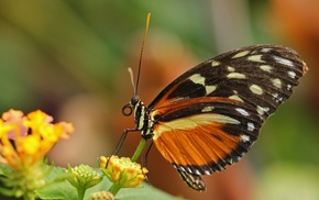 insect, lepidoptera, macro