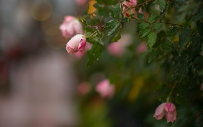 dew, rose, macro, plants, flowers