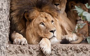 lion, big cats, animals