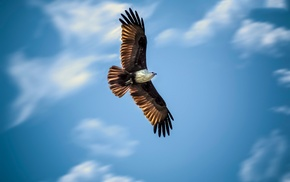 eagle, flying, animals