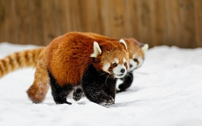 animals, red panda, snow