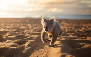 animals, sand, beach, koalas