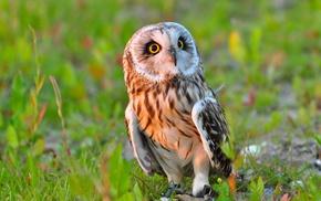 grass, owl, birds