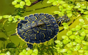 leaves, animals, water, reptiles, turtle