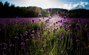 plants, flowers, purple flowers, nature, lavender, sunlight