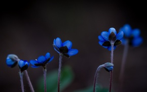 plants, nature, macro, blue flowers, flowers