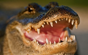 closeup, animals, alligators, reptiles