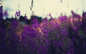 nature, lavender, plants, purple flowers, depth of field, flowers