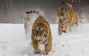 snow, running, landscape, Siberian tiger, animals, nature
