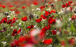 field, plants, flowers, poppies