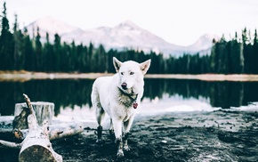 animals, landscape, pond, Siberian Husky