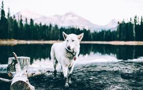 animals, landscape, pond, Siberian Husky