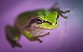 amphibian, depth of field, animals, frog