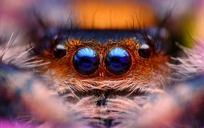 spider, animals, Jumping Spider, macro