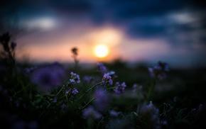 depth of field, flowers, nature, purple flowers