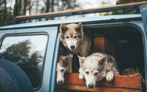 wolf, animals, bokeh, wood, Jeep