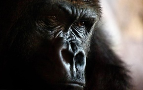 face, animals, gorillas, closeup