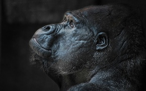 gorillas, closeup, animals